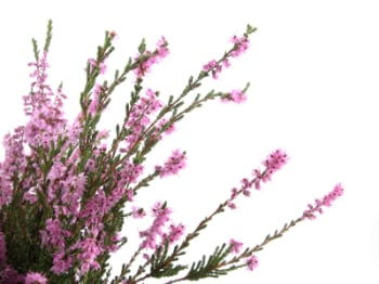 Heather 50ml (BN 1854)