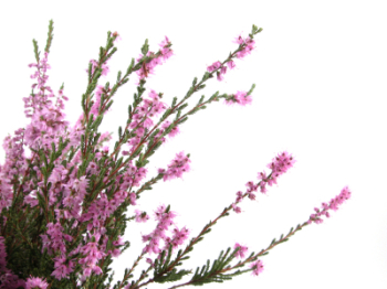 Heather 50ml (BN 8270)