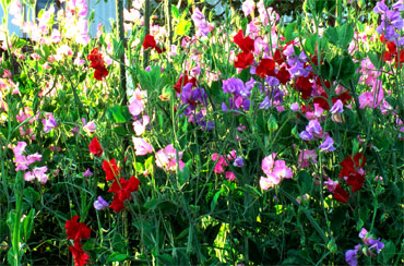 Sweet peas 20 x plug plants - pre order delivery from  late April