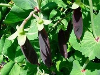 Shiraz purple podded snow pea -  delivery from mid may