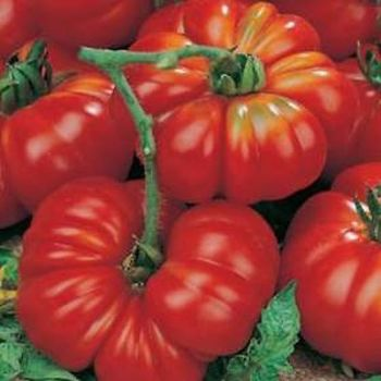 Marmande - pre order delivery from mid April.