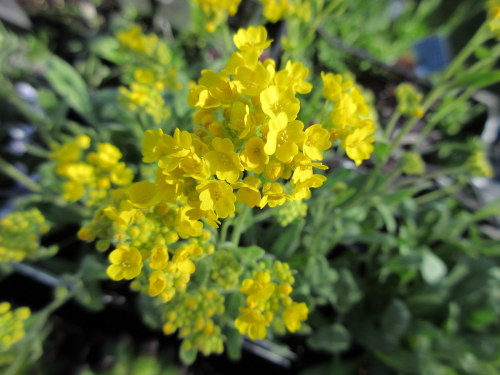 Aurinia saxatilis Gold Cushion - 9cm pot