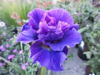 Iris sibirica Concord Crush - 2 litre pot