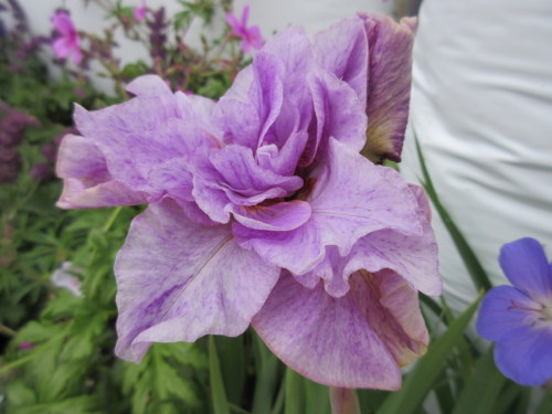 Iris sibirica Pink Parfait - 2 litre pot