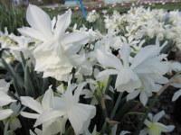 Narcissus Thalia - 2 litre pot