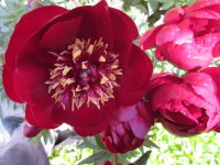 Paeonia Buckeye Belle - 3 litre pot