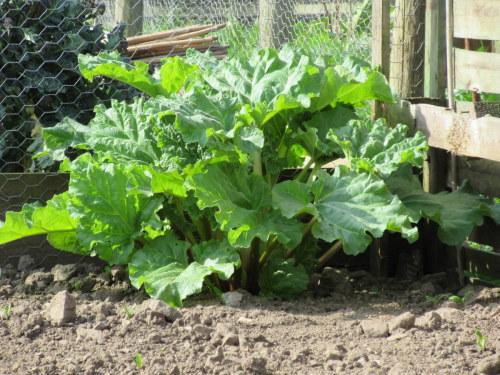 Rhubarb Victoria - 3 litre pot