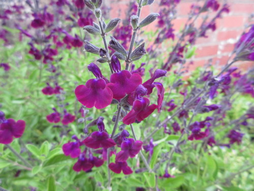 Salvia x jamensis Nachtvlinder - 9cm pot