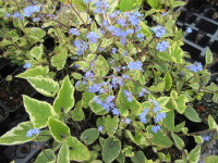 Brunnera macrophylla Hadspen Cream - 9cm pot
