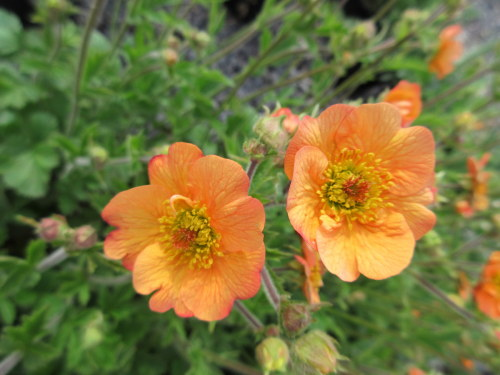 Geum Totally Tangerine - 2 litre pot