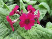 Primula japonica Miller's Crimson - 9cm pot