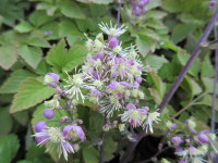 Thalictrum Elin - 2 litre pot