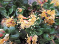 Lonicera crassifolia Little Honey - 1 litre pot