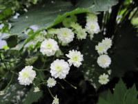 Ranunculus aconitifolius Flore Pleno - 2 litre pot