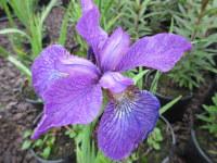 Iris sibirica Sparkling Rose - 2 litre pot