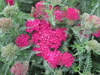 Achillea millefolium Pomegranate (Tutti Frutti Series) - 2 litre pot