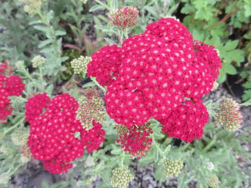 Achillea millefolium Red Velvet - 2 litre pot