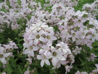 Campanula lactiflora Loddon Anna - 2 litre pot