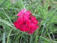 Dianthus cruentus - 9cm pot