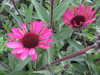 Echinacea Summer Cloud - 2 litre pot