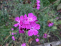 Dianthus carthusianorum - 9cm pot