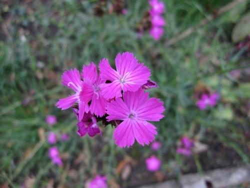 Dianthus carthusianorum - 9cm pot
