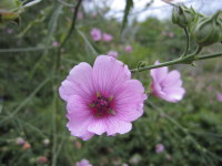 Althaea cannabina - 9cm pot