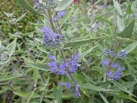 Caryopteris x clandonensis Heavenly Blue - 2 litre pot