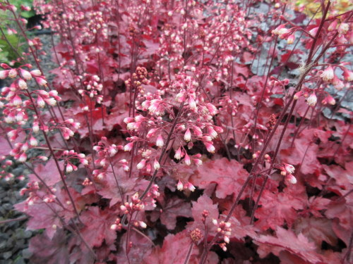 Heuchera Fire Chief - 9cm pot