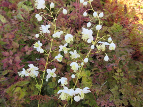 Thalictrum delavayi Album - 9cm pot