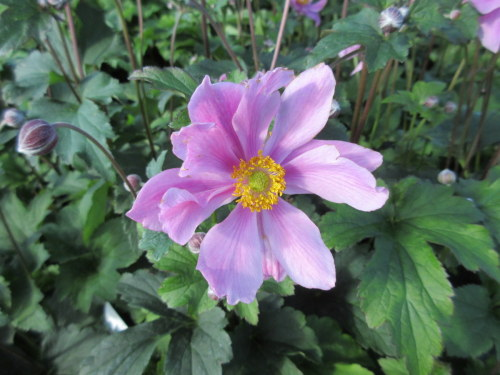 Anemone x hybrida Serenade - 9cm pot