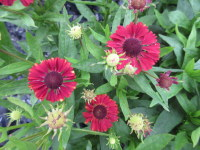 Helenium Red Jewel - 2 litre pot