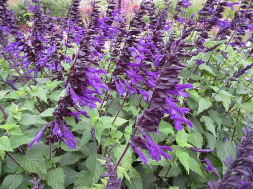 Salvia Amistad - 2 litre pot