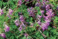 Corydalis Blackberry Wine - 9cm pot