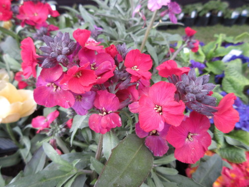 Erysimum Red Jep - 9cm pot