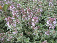 Thymus Silver Queen - 9cm pot