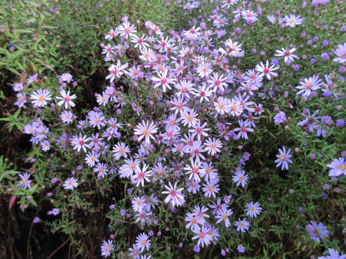 Aster Little Carlow (cordifolius hybrid) - 9cm pot