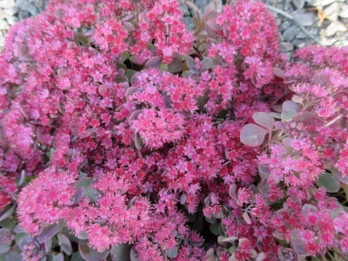 Sedum cauticola Coca Cola - 9cm pot