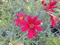 Coreopsis Red Satin - 2 litre pot
