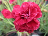 Dianthus Passion - 1 litre pot