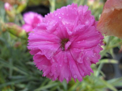 Dianthus Tickled Pink - 1 litre pot