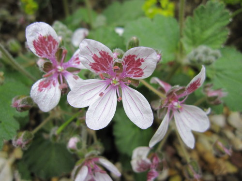 Erodium pelargoniiflorum - 9cm pot