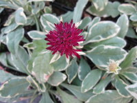 Knautia macedonica Thunder and Lightening - 9cm pot