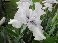 Iris Love's Tune (Intermediate Bearded) - 3 litre pot