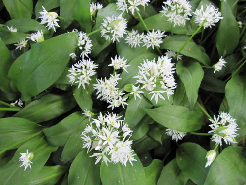 Wild Garlic - 9cm pot