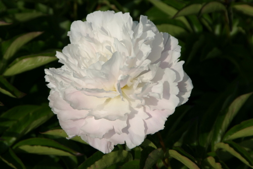 Paeonia lactiflora Shirley Temple - 3 litre pot