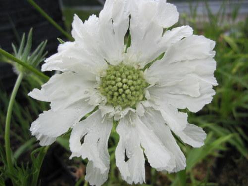 Scabiosa caucasica Perfecta Alba - 9cm pot