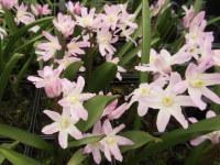 Chionodoxa Pink Giant - 9cm pot