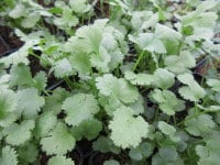 Coriander, Common - 9cm pot