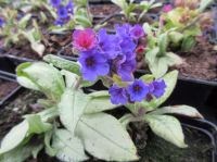 Pulmonaria Diana Clare - 9cm pot